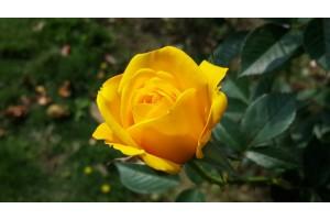 Plantarea trandafirilor