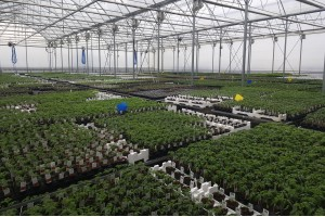 Pregatirea rasadurilor de legume