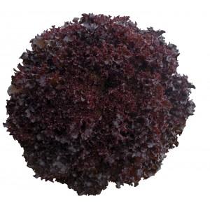 Seminte de salata drajate Bacchus (tip lolla rossa ), 5000 seminte