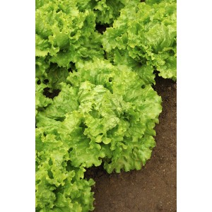 Seminte de salata Eole, 10 grame