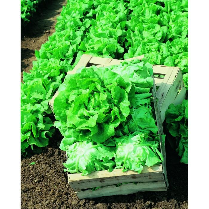 Seminte de salata Lores, 5000 seminte