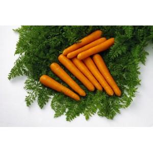 Seminte de morcov Maestro F1, calibru 2,2-2,4, 500000 seminte