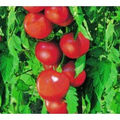 Tomate (14)