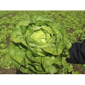 Seminte de salata drajate Zeralda, 5000 seminte