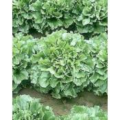 Salata (21)