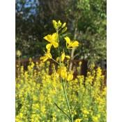 Seminte mustar (1)