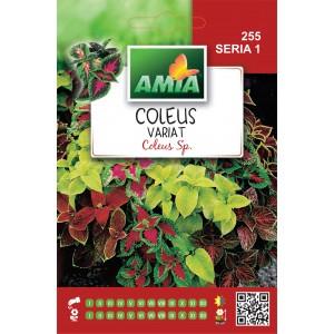 Seminte de flori coleus amestec, 1 gram